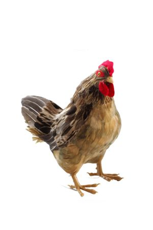 Animal - Chicken