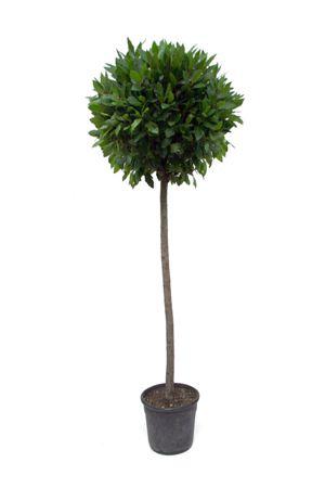 Topiary - Bay tree - Real