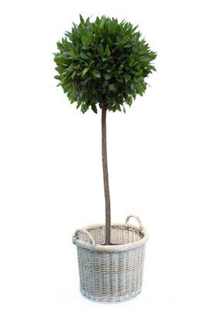 Topiary - Bay Tree in Wicker Planter