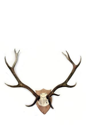 Antlers - Real Mounted