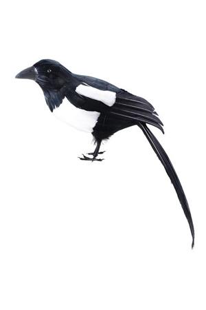 Animal -  Magpie